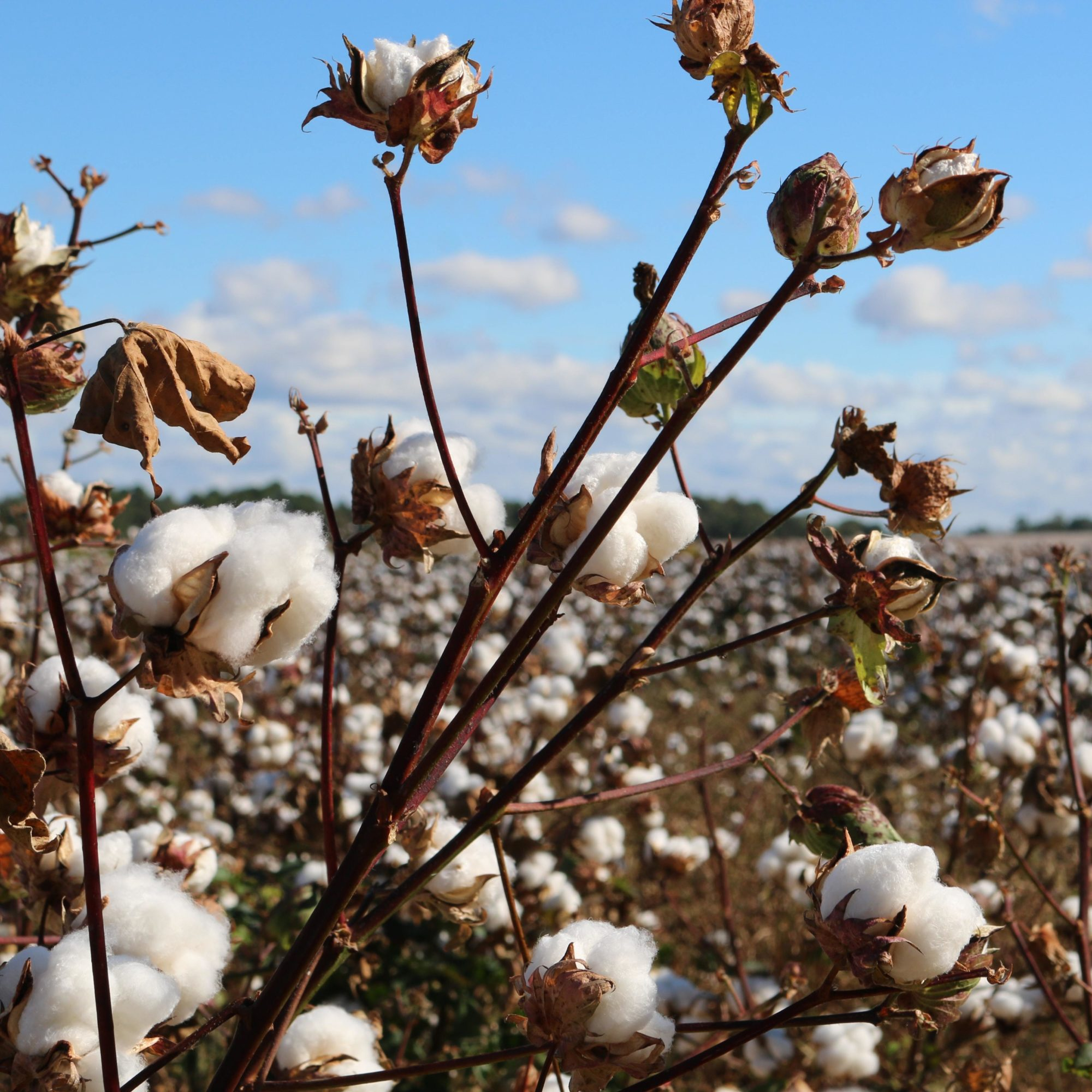 GOTS natural organic cotton for customized sustainable textile